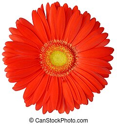Isolated gerbera flower