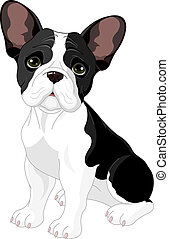 French bulldog, sitting in front of white background
