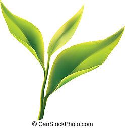 Fresh green tea leaf on white background. Vector illustration.
