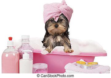 Yorkshire terrier dog taking a bath