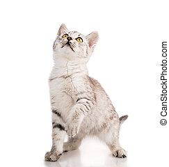 gray striped tabby cat kitten