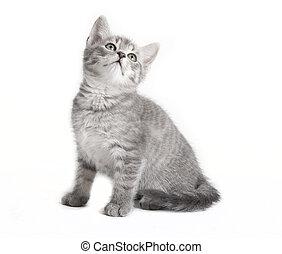 gray tabby cat looking up