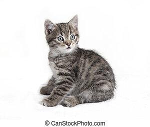 gray tabby cat sitting