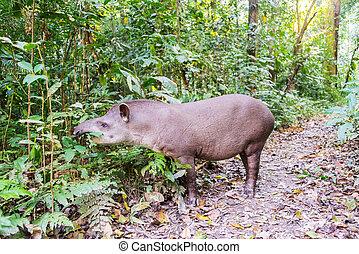 Grazing Brazilian Tapir