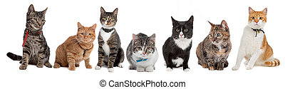 Group of cats, European Shorthair, in front of a white background