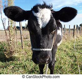 Head Shot of a Black & White Calf with Big Ears