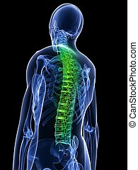 3d rendered x-ray illustration of a human torso with highlighted spine
