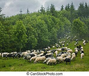 Herd of sheep on mountain meadow