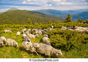herd of sheeps on the mountain hill