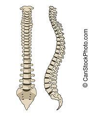Human Anatomy Spine System Vector