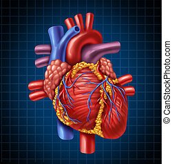 Human heart anatomy from a healthy body on a blue and black graph background as a medical health care symbol of an inner cardiovascular organ.