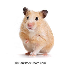 isolated, on, hamster, pets, animal, mammal, red, one, tiptoe, fun, paw, pest, animals, life, fur, mischief, close-up, fluffy, curiosity, cute, portrait, small, humor, surprise, hair, whisker, domestic, nose, rodent