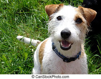 cheeky parson jack russell
