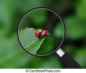 Magnifying Glass - Ladybugs