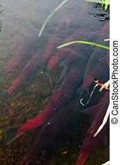 main run blue-backed salmon 2