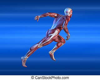 3d rendered anatomy illustration of a male body with muscular system