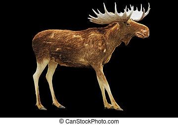 Moose isolated on black
