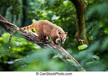 Nasua raccoon coati