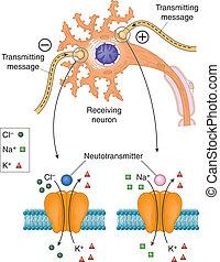 Neurotransmitters acting on neuron
