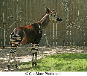 okapi in backyard with fence in the background