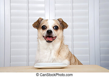 chihuahua dog sitting at kitchen table waiting for food