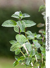 peppermint, plant, outdoors, herb, menthol, health, spice, leaf, bush, herbal, health, refreshment, spearmint, green, background, grow, organic, nature, season, foliage, fragrant, nobody, scented