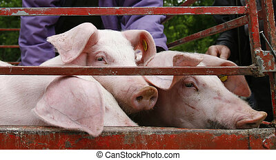 pigs are shown in a marketplace