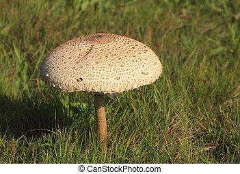 Image of a beautiful but poisonous mushroom (Amanita spp.) at dusk.
