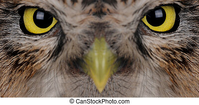 portrait brownie horned owl on a white background