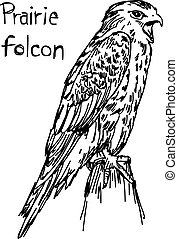 Prairie folcon - vector illustration sketch hand drawn with black lines, isolated on white background