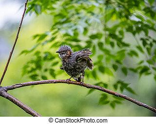 Preening brown-eared bulbul in a tree 2