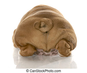 english bulldog puppy from the rear end with reflection on white background