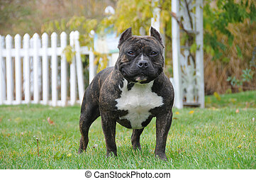 Purebred Canine American Bully Dog Standing in Backyard on Lawn