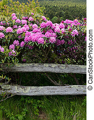 Rhododendron and Rail Fence
