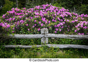 Rhododendron Blooms Over Post of Fence