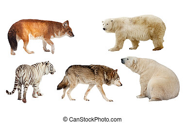 Carnivora mammal. Isolated over white