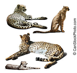 Set of Cheetah. Isolated over white