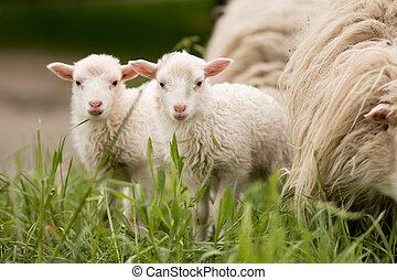 sheep mammal animal young farm lamp grass