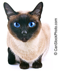 Siamese cat isolated on the white b