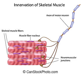 Connection between skeletal muscle fibers and motor neuron