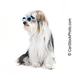 small dog with sunglasses
