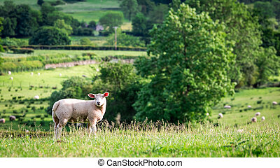 Small sheep on the top of green hill, England