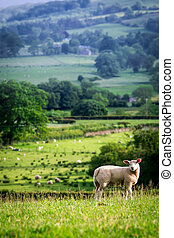 Small sheep on the top of green hill in District Lake, England