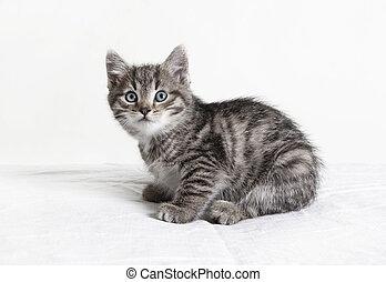 small striped tomcat