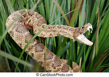 Rattle snake in the tall grass.