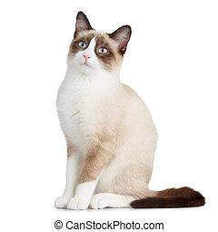 Snowshoe cat, isolated on white background