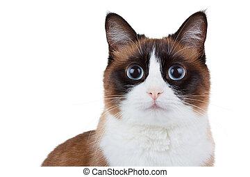 Snowshoe thai cat portrait