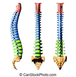 Spine - colors