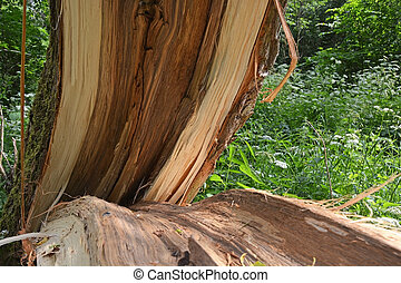 Storm damage. Broken tree