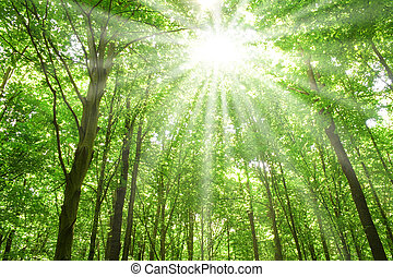 summer nature. sunlight in trees of green forest